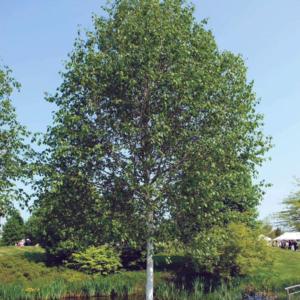 Береза полезная «Doorenbos» - Betula utilis «Doorenbos»