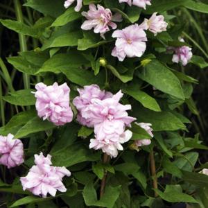 Калистегия плющелистная «Flore Pleno» - Calystegia hederacea «Flore Pleno»