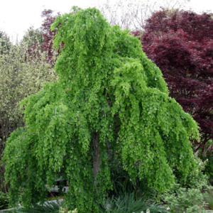 Багряник японский «Pendula» - Cercidiphyllum japonicum «Pendula»