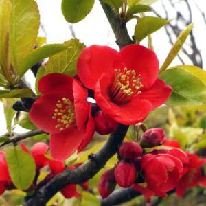 Айва великолепная «Nicoline» - Chaenomeles speciosa «Nicoline»