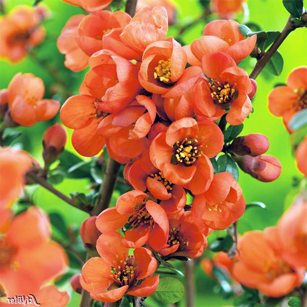 Айва великолепная «Orange Trail» - Chaenomeles speciosa «Orange Trail»
