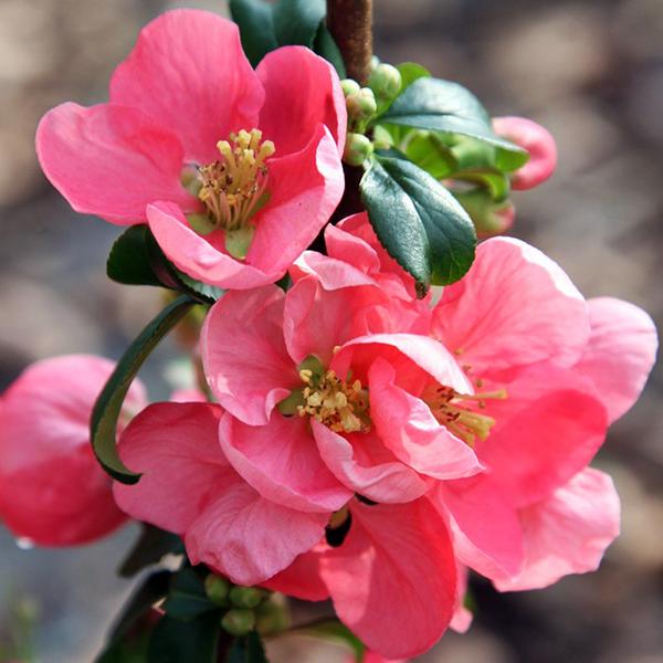 Айва великолепная «Pink Lady» - Chaenomeles speciosa «Pink Lady»