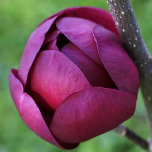 Магнолия «Black Tulip» - Magnolia «Black Tulip»