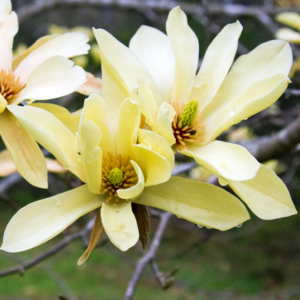 Магнолия «Butterflies» - Magnolia «Butterflies»