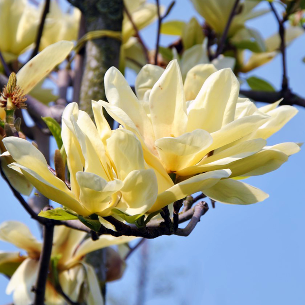 Магнолия «Elizabeth» - Magnolia «Elizabeth»