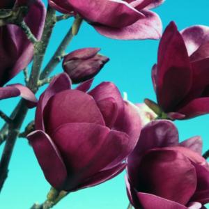 Магнолия «Genie» - Magnolia «Genie»