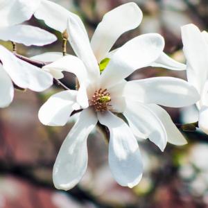 Магнолия кобус - Magnolia kobus