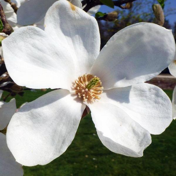 Магнолия кобус «Norman Gould» - Magnolia kobus «Norman Gould»