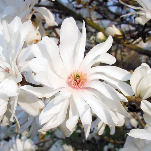 Магнолия Лебнера «Powder Puff» - Magnolia x loebneri «Powder Puff»