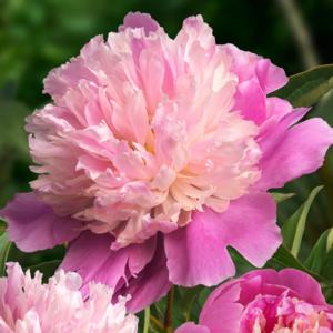 Пион молочноцветковый «Sorbet» - Paeonia lactiflora «Sorbet»