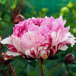 Пион молочноцветковый «The Fawn» - Paeonia lactiflora «The Fawn»