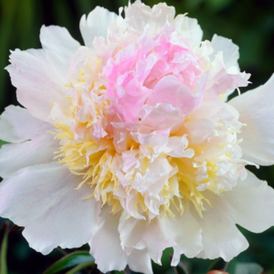 Пион молочноцветковый «Top Brass» - Paeonia lactiflora «Top Brass»