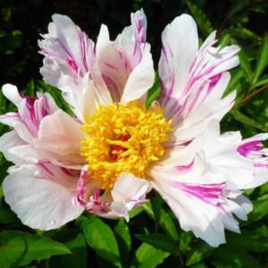 Пион молочноцветковый «Twitterpated» - Paeonia lactiflora «Twitterpated»