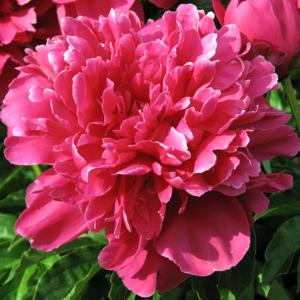 Пион молочноцветковый «Victoire de la Marne» - Paeonia lactiflora «Victoire de la Marne»