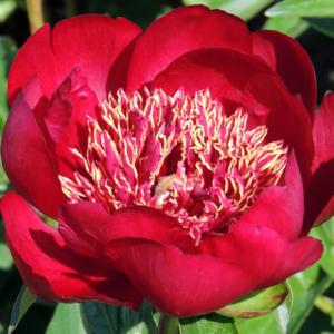 Пион молочноцветковый «Walter Mains» - Paeonia lactiflora «Walter Mains»