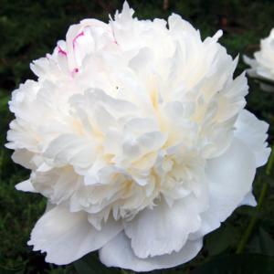 Пион молочноцветковый «White Sarah Bernhardt» - Paeonia lactiflora «White Sarah Bernhardt»