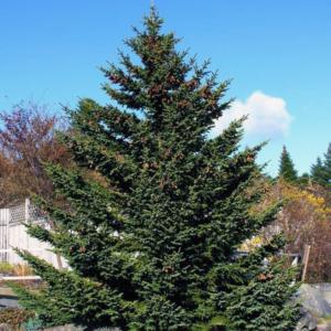 Ель Глена - Picea glehnii