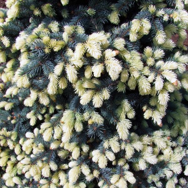 Ель колючая «Bialobok» - Picea pungens «Bialobok»