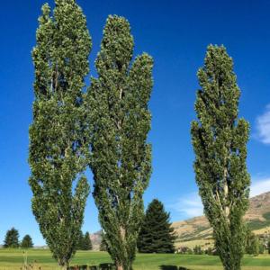 Тополь черный «Italica» - Populus nigra «Italica»