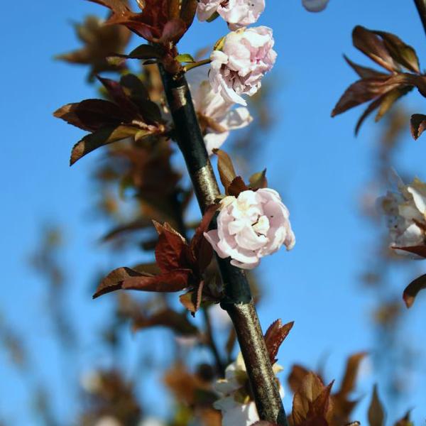 Слива Блайра «Moseri» - Prunus blireana «Moseri»