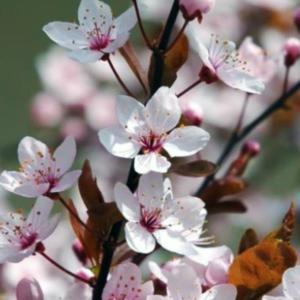 Слива растопыренная «Pissardii» - Prunus cerasifera «Pissardii»