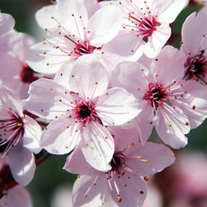 Слива растопыренная «Woodii» - Prunus cerasifera «Woodii»