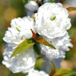 Вишня железистая «Alba Plena» - Prunus glandulosa «Alba Plena»