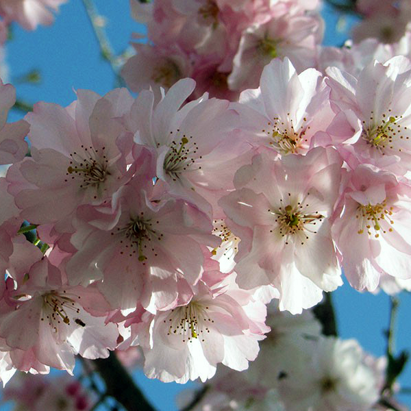 Вишня Саржента «Accolade» - Prunus sargentii «Accolade»