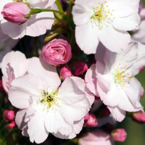Вишня мелкопильчатая «Amanogawa» - Prunus serrulata «Amanogawa»