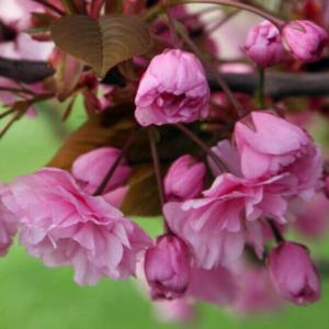 Вишня мелкопильчатая «Kanzan» - Prunus serrulata «Kanzan»