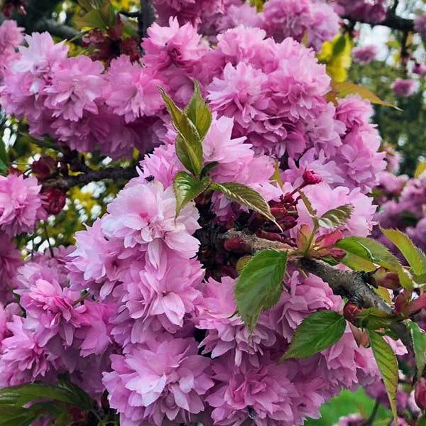 Вишня мелкопильчатая «Kiku-shidare-zakura» - Prunus serrulata «Kiku-shidare-zakura»
