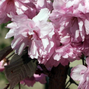 Вишня мелкопильчатая «Royal Burgundy» - Prunus serrulata «Royal Burgundy»