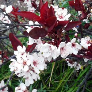 Слива цистена - Prunus x cistena