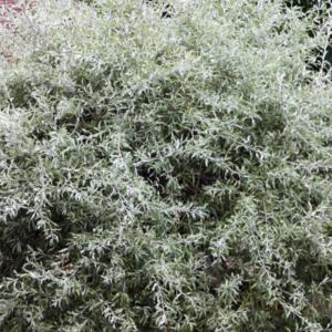 Груша иволистная «Pendula» - Pyrus salicifolia «Pendula»