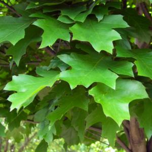 Дуб болотный «Green Dwarf» - Quercus palustris «Green Dwarf»