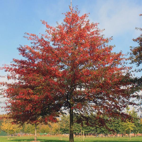 Дуб болотный - Quercus palustris