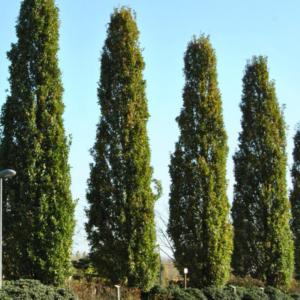 Дуб черешчатый «Fastigiata Koster» - Quercus robur «Fastigiata Koster»
