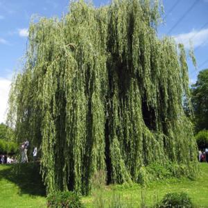 Ива белая - Salix alba