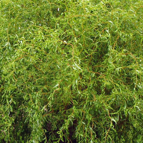 Ива белая «Erythroflexuosa» - Salix alba «Erythroflexuosa»