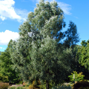 Ива белая «Liempde» - Salix alba «Liempde»
