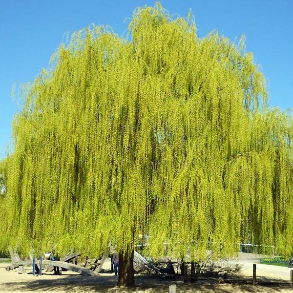 Ива белая «Tristis» - Salix alba «Tristis»