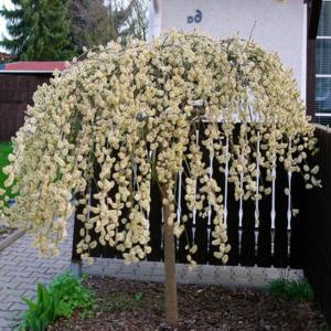 Ива козья «Kilmarnock» - Salix caprea «Kilmarnock»
