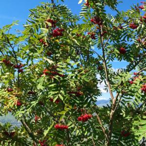 Рябина обыкновенная «Fastigiata» - Sorbus aucuparia «Fastigiata»