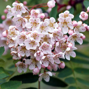 Рябина кашмирская - Sorbus cashmiriana