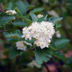 Рябина промежуточная «Brouwers» - Sorbus intermedia «Brouwers»
