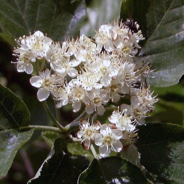 Рябина широколистная «Henk Vink» - Sorbus latifolia «Henk Vink»