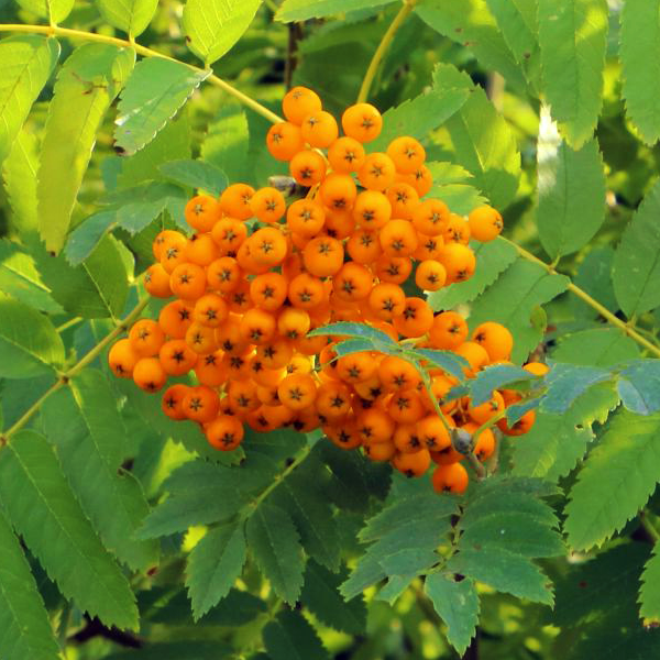 Рябина Арнольда «Golden Wonder» - Sorbus x arnoldiana «Golden Wonder»