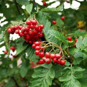 Рябина тюрингская «Fastigiata» - Sorbus x thuringiaca «Fastigiata»