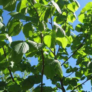 Липа кавказская - Tilia caucasica