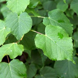 Липа сердцевидная «Green Globe» - Tilia cordata «Green Globe»